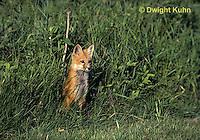 FX03-006z  Red Fox - several months old - Vulpes vulpes
