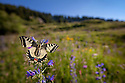 Wide angle view of Common Swallowtail butterfly {Papilio machaon} feeding on Viper's Bugloss / Blueweed {Echium vulgare} in alpine meadow. Nordtirol, Tirol, Austrian Alps, Austria, 1700 metres altitude, July