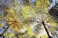Looking up at Australian tree fern (Cyathea cooperi aka Sphaeropteris cooperi) through leaves backlit with sunlight