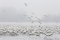 Snow geese land in a wetland pond, Merced NWR, California.