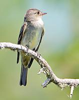 Juvenile eastern wood-peewee