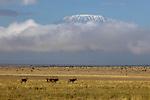 Kenya, Chyulu Hills National Park, Kilimanjaro , Kibo cone, East African oryx (Oryx beisa), also known as the beisa