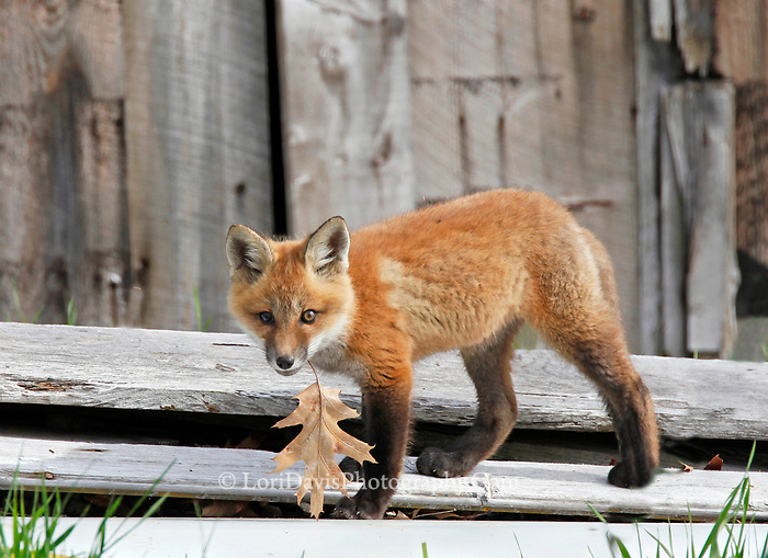 Red fox kit with leaf