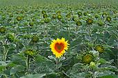 Tom Mackie, FLOWERS, photos, Heart shaped Sun Flower, Alpes de Haute, Provence, France, GBTM080177-1,#F# Garten, jardín