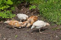 Hühnerküken, Küken laufen frei im Garten umher, Zwerghuhn, Zwerghühner, freilaufende, glückliche Hühner, artgerechte Tierhaltung