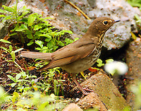 Adult Swainson's thrush at Paradise Pond in April