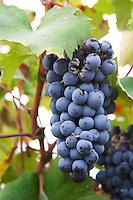 Domaine Haut-Lirou in St Jean de Cuculles. Pic St Loup. Languedoc. Bunch of Grapes. France. Europe.