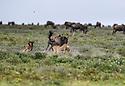 Male Cheetah (Acinonyx jubatus) chasing / hunting wildebeest calf and mother. Short grass plains of the Serengeti / Ngorongoro Conservation Area (NCA) near Ndutu, Tanzania.