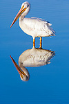 USA, Florida, Sanibel, Ding Darling NWR, White Pelican (Pelecanus erythrorhynchos)