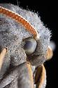 Poplar Hawkmoth {Laothoe populi} male, detail showing compound eye. Derbyshire, UK. July.