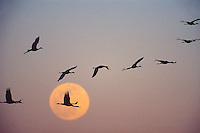 Sandhill cranes migrating against full moon, winter (Grus canadensis).