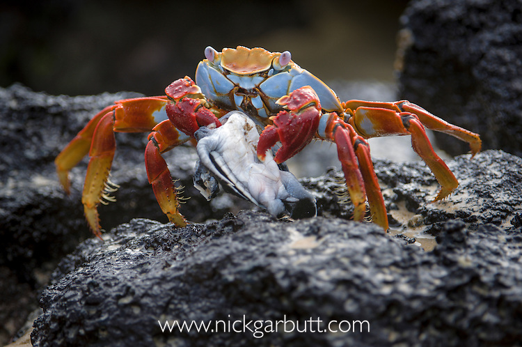 Sally Lightfoot Crab or Red Rock Crab (Grapsus grapsus ) feeding on recently emerged hatchling of Pacific Green Turtle (Chelonia mydas). Rocky shoreline of Isla Floreana or Charles Island, Galapagos Islands (Ecuador) Pacific Ocean.