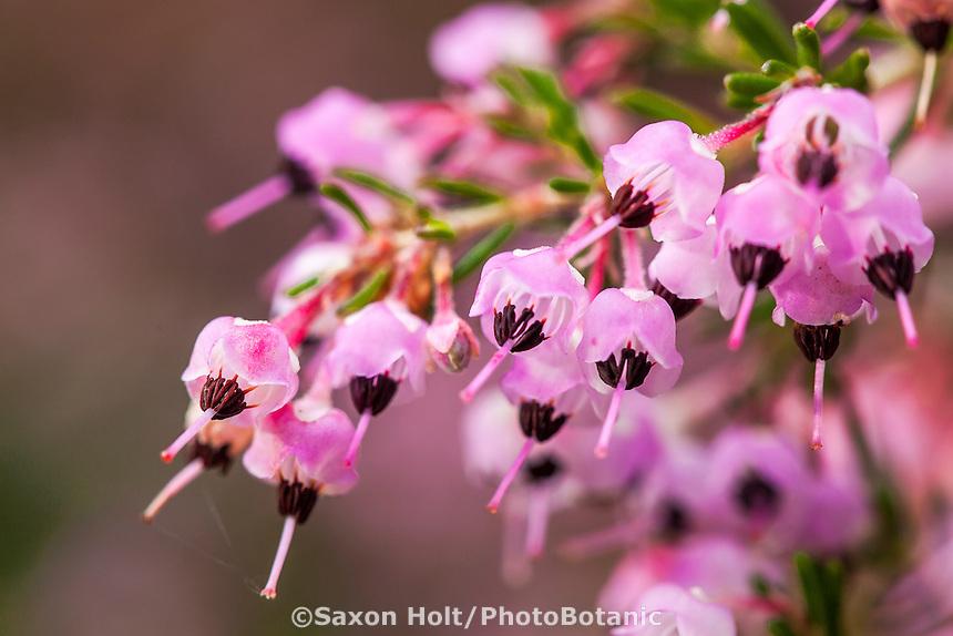 Small flowers of Erica canaliculata, Heath; winter blooming flowering shrub San Francisco Botanical Garden
