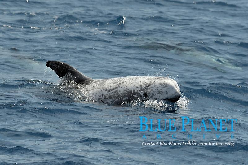 Risso's Dolphin, Grampus griseus, surfacing, Azores, Atlantic Ocean