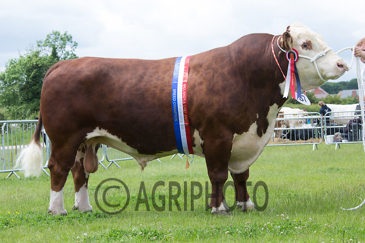 Rutland County Show 2017<br /> Solpoll 1 Hollywood owned by Newtoncroft Farms <br /> Picture Tim Scrivener 07850 303986<br /> ….covering agriculture in the UK….