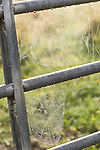 Brazoria County, Damon, Texas; spider webs covered with morning dew, strung between rungs of a metal gate in early morning sunlight