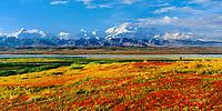 Crimson Red Bearberry, North face of 20, 3020+ ft. Mt. Denali, autumn tundra and McKinley river bar, Denali National Park, Alaska.