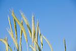 Europa, DEU, Deutschland, Nordrhein-Westfalen, Niederrhein, Getreide, Roggen, Aehre, Natur, Umwelt, Pflanzen, Pflanzenkunde, Botanik, Biologie, <br /> <br /> [Fuer die Nutzung gelten die jeweils gueltigen Allgemeinen Liefer-und Geschaeftsbedingungen. Nutzung nur gegen Verwendungsmeldung und Nachweis. Download der AGB unter http://www.image-box.com oder werden auf Anfrage zugesendet. Freigabe ist vorher erforderlich. Jede Nutzung des Fotos ist honorarpflichtig gemaess derzeit gueltiger MFM Liste - Kontakt, Uwe Schmid-Fotografie, Duisburg, Tel. (+49).2065.677997, ..archiv@image-box.com, www.image-box.com]