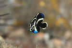 Juvenile gray angelfish, Pomacanthus arcuatus