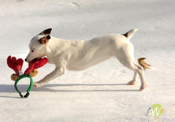 Jack Russel Terrier running with red reindeer antlers.