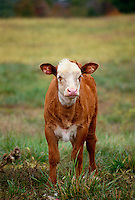 white faced hereford calf in meadow, MO