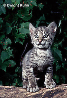 MA26-052z  Bobcat - young - Felis rufus