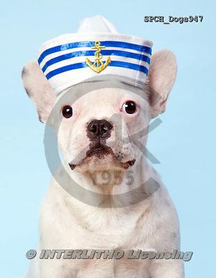 Xavier, ANIMALS, REALISTISCHE TIERE, ANIMALES REALISTICOS, dogs, photos+++++,SPCHDOGS947,#a#