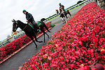 31 October 2009: Ponies head toward the tunnel to grab the horses for the start of the 4th race at Keeneland.