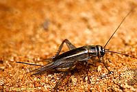 OR10-001i  Cricket - house cricket - Acheta domestica