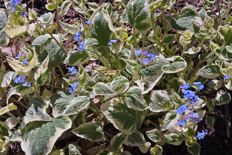 Brunnera macrophylla 'Hadspen Cream' in blue bloom in spring with variegated green and white foliage
