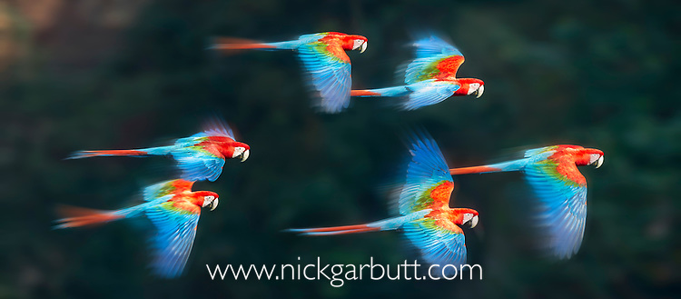 Group of Red-and-Green Macaws or Green-winged Macaws (Ara chloropterus) (Family Psittacidae) in flight over forest canopy. Buraco das Araras (Sinkhole of the Macaws), Jardim, Mato Grosso do Sul, Brazil. September. (Digitally Modified)