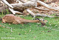0523-1113  Gerenuk, Resting, Litocranius walleri  © David Kuhn/Dwight Kuhn Photography