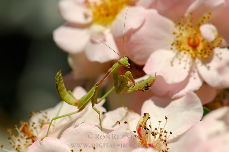 Mantis with Prey on Rose, California Mantis male, Stagmomantis californica, Praying Mantis, Southern California