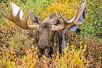 Moose (Alces alces) during rutting season, freshly scraped velvet hanhing from its antlers, Denali National Park, Alaska, USA, North America