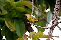 Yellow Warbler, Flores, Peten, Guatemala