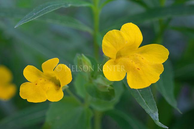 Yellow Monkey-Flowers