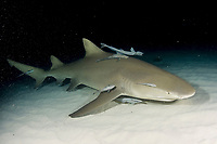 Lemon shark at night with remoras. Negaprion brevirostris.