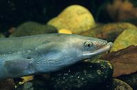 Europäischer Aal, Flussaal, Flußaal, Fluss-Aal, Fluß-Aal, Anguilla anguilla, European eel