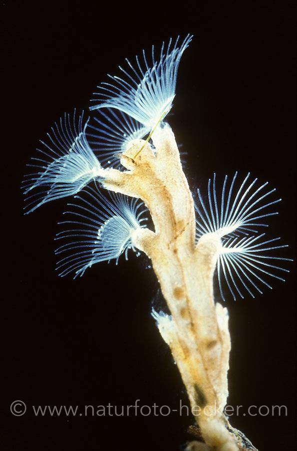 Kriechendes Moostierchen, Bryozoa, Plumatella repens