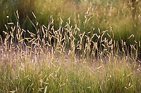Seed heads of Blue grama grass (Mosquito grass) Bouteloua gracilis native plant in xeriscape New Mexico meadow garden