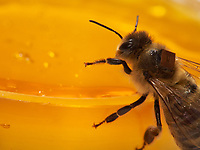 Microchips are used by researchers to mark the bees and identify them with a scanner at the entrance to the hive or near the nurse bees. In that way, it is possible to monitor the bees' activities on an individual level. The times they go out, etc…<br /> Centre de recherche HOBOS, Würzburg, Germany.<br /> Les puces électroniques sont utilisées par les chercheurs pour marquer les abeilles et les identifier par scanner à l'entrée de la ruche ou alors prés des nourrisseurs. Il est ainsi possible de suivre les activités des abeilles au niveau individuel. Leurs heures de sorti…