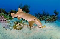 nurse shark, Ginglymostoma cirratum, feeding on a grunt, Florida Keys National Marine Sanctuary, Key Largo, Florida, USA, Atlantic Ocean