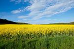 Europa, DEU, Deutschland, Hessen, Landkreis Fulda, Grossenlueder, Luetterz, Agrarlandschaft, Raps, Rapsbluete im Fruehling, Himmel, Wolken, Kategorien und Themen, Natur, Umwelt, Landschaft, Landschaftsfotos, Landschaftsfotografie, Landschaftsfoto, Wetter, Wetterelemente, Wetterlage, Wetterkunde, Witterung, Witterungsbedingungen, Wettererscheinungen, Meteorologie, Wettervorhersage<br /> <br /> [Fuer die Nutzung gelten die jeweils gueltigen Allgemeinen Liefer-und Geschaeftsbedingungen. Nutzung nur gegen Verwendungsmeldung und Nachweis. Download der AGB unter http://www.image-box.com oder werden auf Anfrage zugesendet. Freigabe ist vorher erforderlich. Jede Nutzung des Fotos ist honorarpflichtig gemaess derzeit gueltiger MFM Liste - Kontakt, Uwe Schmid-Fotografie, Duisburg, Tel. (+49).2065.677997, ..archiv@image-box.com, www.image-box.com]