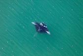 Raie Manta à la surface du lagon, Nouvelle-Calédonie