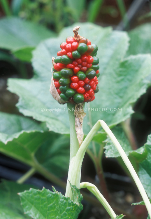 Arisaema triphyllum berry fruits seedhead ripening, red and green on same head, Jack in the Pulpit