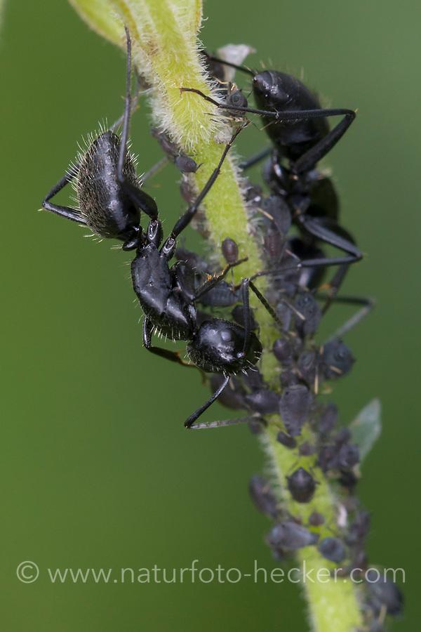 Haarige Holzameise, in einer Blattlaus-Kolonie, Blattlauskolonie, Haarige Holz-Ameise, Rossameise, Roßameise, Ross-Ameise, Roß-Ameise, Rossameisen, Camponotus vagus, carpenter ant