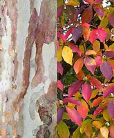 Stewartia pseudocamellia tree in autumn fall foliage and all season bark, composite picture