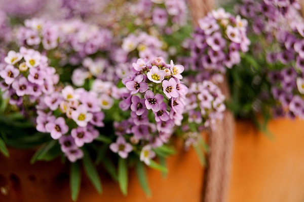 Fragrant Lavender Alyssum in Full Bloom