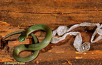 1R04-101z  Smooth Green Snake - molting skin - Opheodrys vernalis