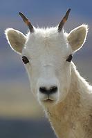 Dall sheep ewe portrait, Denali National Park, Alaska.